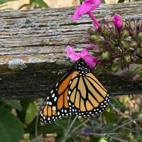 Summer of the Monarch Butterflies